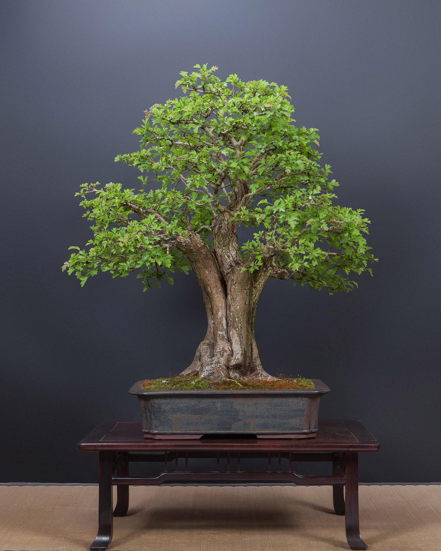 bonsaibaum 025 bonsai werkstatt. Black Bedroom Furniture Sets. Home Design Ideas
